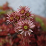 Houseleek  (Sempervivum tectorum)