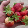 1st strawberries