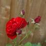 """Rose"""" Wettra """" (Rosa)"""