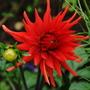"""Dahlia """"Ludwig Helfert"""" (Dahlia pinnata {Cactus Dahlia})"""