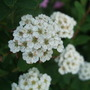 Spiraea nipponica 'Snowmound' (Spiraea nipponica)
