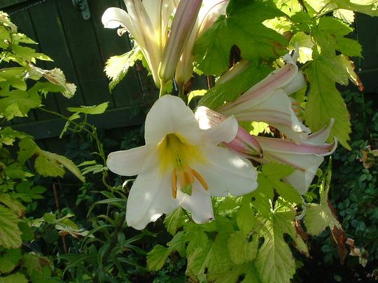 """""""Regale"""" (Lilium)"""