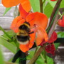 Bee on a Bean flower