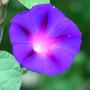 I.purpurea_14_7_10