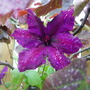 Clematis Honora peeking out of Cercis