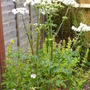 Giant Hogweed (a weed)  (12) (not known)