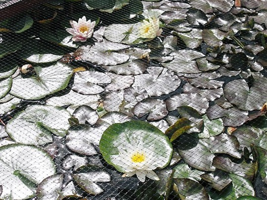 A PONDFULL OF LILLY PADS !!