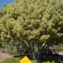 Ficus retusa  (microphylla, nitida) 'variegata' - Variegated Indian Laurel (Ficus retusa  (microphylla, nitida) 'variegata' - Variegated Indian Laurel)