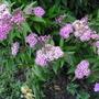 Spiraea japonica ' Shirobana '