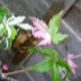variegated  maple