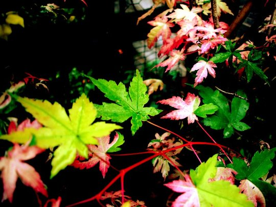 variegated  maple , photo highlighted
