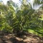 Arenga engleri - Formosa, Sugar Palm (Arenga engleri - Formosa, Sugar Palm)