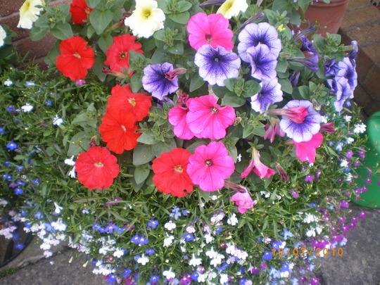 Petunias/Lobellias
