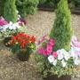 Petunias/ivy andSalvia