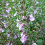 Teucrium chamaedrys (Wall Germander) (Teucrium chamaedrys)