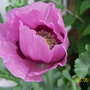 Pretty_pink_poppy