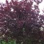 Plum Nigra for Michaela (Prunus cerasifera 'Nigra' - Purple Leaved Flowering Plum)