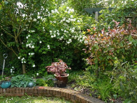 Corner of my Garden in Spring (Viburnum carlesii (Viburnum))