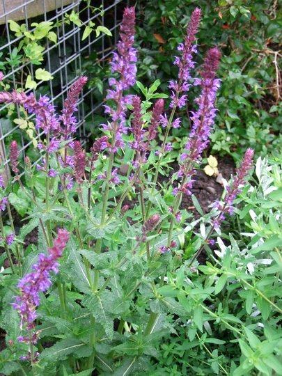 Salvia x superba 'Superba' (Salvia x superba)