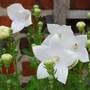 Platycodon Albus (Platycodon grandiflorus (Balloon Flower))