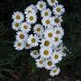 dazzling daisies