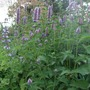 Agastache foeniculum (Agastache foeniculum (Anise Hyssop))