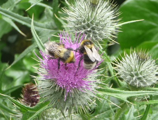 Bees on thistle 2