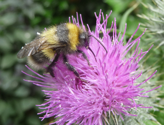 Bee in thistle 1