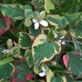 Houttuynia cordata 'Chameleon' (Houttuynia cordata (Houttuynia))