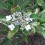 Hydrangea_macrophylla_tricolor_2010