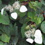 Schizophragma hydrangeoides 'Moonlight' - 2010 (Schizophragma hydrangeoides 'Moonlight')