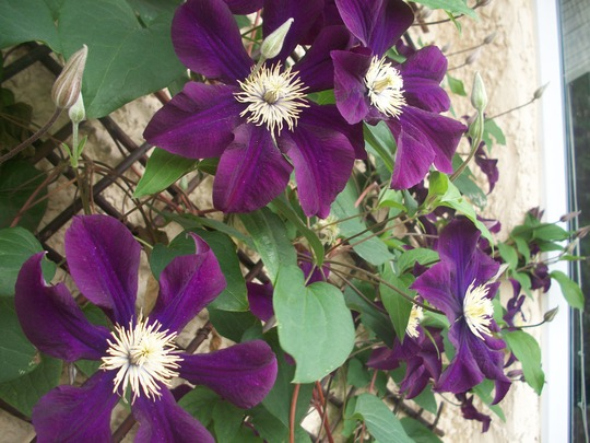 another shot of Poor Miss Nameless (clematis)