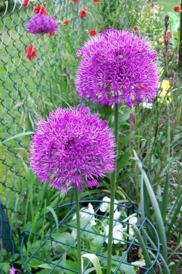 16_5_13.jpg (Allium rosenbachianum)