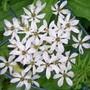 White Garlic (Allium neapolitanum (White Garlic))
