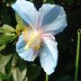 Meconopsis grandis (Blue Poppy) - May 2008 (Meconopsis grandis)
