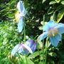 Meconopsis grandis Blue Poppy  (Meconopsis grandis)