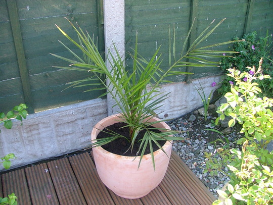 new pot for my palm