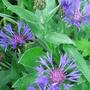 Centaurea montana (Perennial Cornflower) - May 2008 (Centaurea montana)