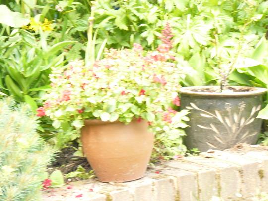"Mimulas "" Highland Red"" (Mimulus aurantiacus (Bush Monkeyflower))"