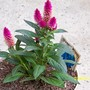 Flamingo feathers or Celosia spica plumosa