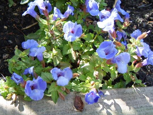 Torenia blue
