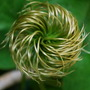 Clematis seed head........