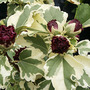 Hibiscus_syriacus_Purpureu.jpg