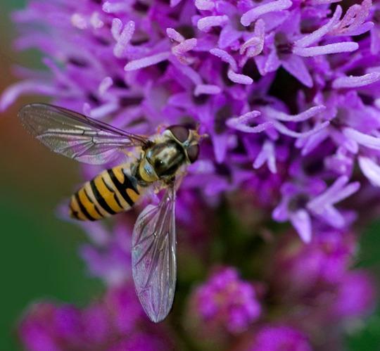 Hoverfly on Liatris: 17.7.10 (Liatris spicata (Gayfeather))