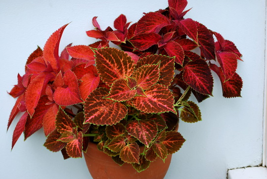 Coleus in pot.. (Coleus blumei)