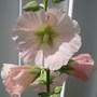 Holly Hock (Alcea)