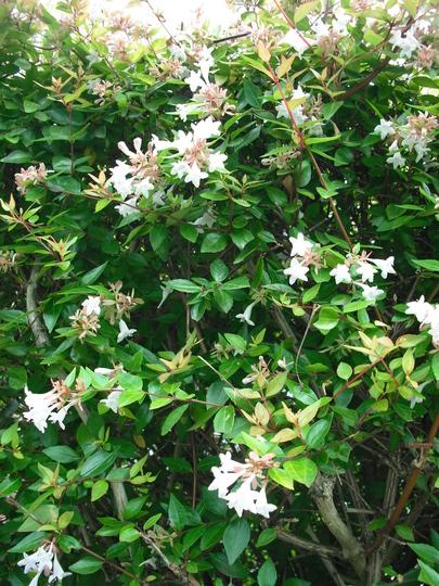 Abelia grandiflora (Abelia grandiflora)