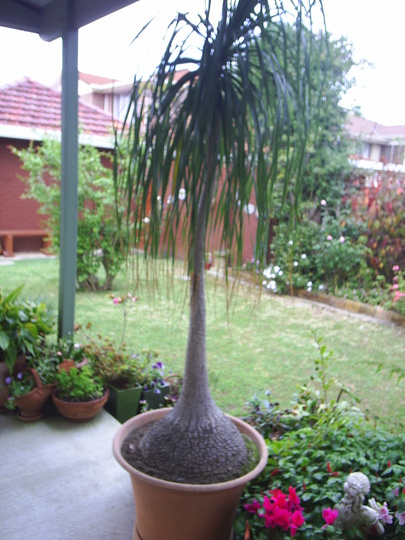 Beaucamea recurvata - Otherwise known as... Pip's Pregnant Palm LOL! (Beaucamea recurvata)
