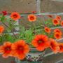 Million Bells ... Tangerine (Calibrachoa)