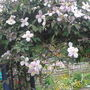Clematis Montana on my arch